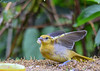 """<div class=""""jaDesc""""> <h4>Juvenile Baltimore Wings Up - June 28, 2018</h4> <p>She was just about to take off as a Blue Jay came swooping in.</p> </div>"""