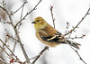 "<div class=""jaDesc""> <h4>Male Goldfinch in Winterberry Bush - January 18, 2020</h4> <p>Berries are all gone.</p></div>"