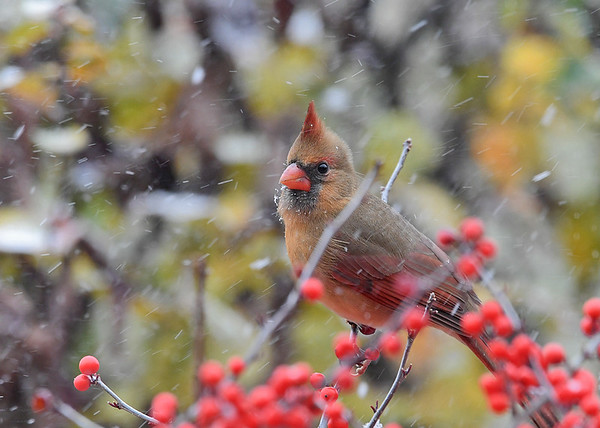 "<div class=""jaDesc""> <h4>Elegant Looking Female Cardinal  - December 16, 2020</h4> <p>Meanwhile our second female Cardinal was looking very elegant in the blowing snow.</p> </div>"