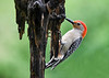 """<div class=""""jaDesc""""> <h4>Male Red-bellied Woodpecker at Suet Trunk - May 12, 2018</h4> <p>There is not much left of this pine tree trunk.  The woodpeckers have pecked it down to the point where it is going to fall apart.</p> </div>"""