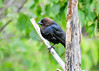 "<div class=""jaDesc""> <h4> Male Cowbird on Perch - May 22, 2017</h4> <p> We have 6 male Cowbirds at our place.  When the horses are grazing, the Cowbirds like to ground feed around and under the horses; just like they did with the buffalo out west.</p> </div>"