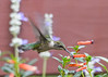 "<div class=""jaDesc""> <h4>Female Hummingbird at Cigar Plant - September 22, 2019 </h4> <p> </p> </div>"