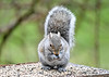 "<div class=""jaDesc""> <h4> Gray Squirrel Munching Sunflower Seed - April 2, 2020</h4> <p></p> </div>"
