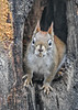 """<div class=""""jaDesc""""> <h4>Red Squirrel - Peanut in Mouth - January 7, 2019</h4> <p></p>  </div>"""