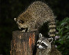 "<div class=""jaDesc""> <h4>2nd Young Raccoon at Feeder Log - August 22, 2017</h4> <p>The 2nd  young raccoon ambled over to the feeder log to see what she could find. </p> </div>"
