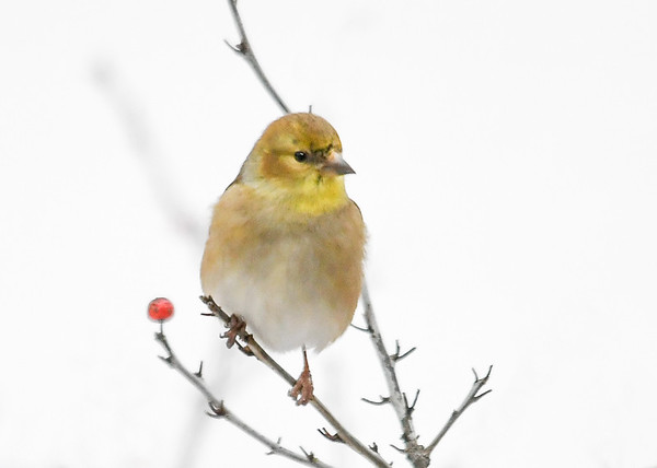 "<div class=""jaDesc""> <h4>Male Goldfinch - Bit of Black Above Beak - January 18, 2020</h4> <p>Just starting to molt. </p></div>"