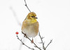 "<div class=""jaDesc""> <h4>Male Goldfinch - Bit of Black Above Beak - January 18, 2020</h4> <p>Just starting to molt. </p></div>"