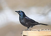 """<div class=""""jaDesc""""> <h4>Female Grackle on Feeder Box - March 23, 2019</h4> <p>A bit more subtle coloring than the males.</p></div>"""