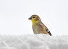 "<div class=""jaDesc""> <h4>Goldfinch in Pile of Snow  - January 13, 2018</h4> <p>Even though it is only January, the Goldfinches are starting to show signs of summer plumage.  The guys have to look their best for breeding season.</p></div>"
