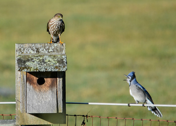 "<div class=""jaDesc""> <h4>Blue Jay Taunting Juvenile Sharp-shinned Hawk - October 17, 2017</h4> <p>This is a yearly event.  A juvenile Sharp-shinned Hawk is trying to catch Blue Jays, but is not fast enough yet.  The Blue Jays just taunt her till she is exhausted.</p> </div>"