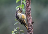 """<div class=""""jaDesc""""> <h4>Juvenile Male Hairy Woodpecker Grooming - August 21, 2018</h4> <p>Caught him with his eye lid shut while he was grooming.</p></div>"""