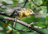 """<div class=""""jaDesc""""> <h4>Female Juvenile Baltimore Oriole - July 13, 2020</h4> <p>Our two pairs of Orioles each had two youngsters - one female and one male.</p> </div>"""