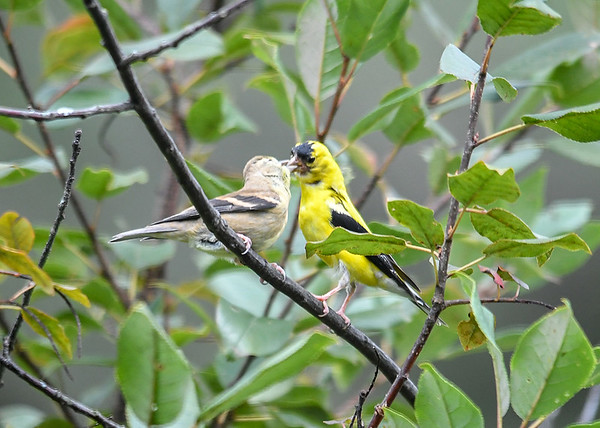 """<div class=""""jaDesc""""> <h4>Sunflower Chips - Yum! - September 2, 2019</h4> <p>The Dad had collected sunflower chips from the finch mix I put out.  He was dropping a bunch in her beak. </p></div>"""