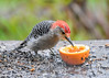 "<div class=""jaDesc""> <h4>Male Red-bellied Woodpecker Enjoying Grape Jelly and Orange - May 7, 2017</h4> <p>The Catbird and 4 Orioles got most of the grape jelly, but the Red-bellied Woodpecker was determined to get his share..</p> </div>"