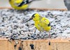 """<div class=""""jaDesc""""> <h4>Male Goldfinch with Sunflower Seed - April 5, 2019</h4> <p>Sunflower seeds provide energy to stay warm on snowy April days. </p></div>"""