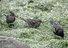 """<div class=""""jaDesc""""> <h4>2 Female Red-winged Blackbirds Ground Feeding - May 2, 2017</h4> <p>These 2 females eat at our place, but are building their nests at our neighbor's pond. </p></div>"""