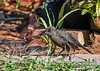 "<div class=""jaDesc""> <h4>Juvenile Grackle Plays with Feather - July 18, 2017</h4> <p>He picked the feather up, chomped on it, and moved it around in his beak.</p></div>"