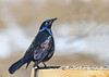 "<div class=""jaDesc""> <h4>Grackle - Head High - March 23, 2019</h4> <p>Trying to look good for the females.</p></div>"