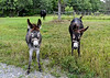 """<div class=""""jaDesc""""> <h4>Donkeys Want to Be Petted - August 3, 2020 </h4> <p></p> </div>"""