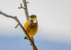 """<div class=""""jaDesc""""> <h4>Male Evening Grosbeak in Pear Tree - Dec 12, 2018</h4> <p>This is the second male who was more skittish.  He spent several minutes checking out the safety of the feeder log before getting some seed. </p> </div>"""