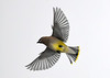 """<div class=""""jaDesc""""> <h4> Cedar Waxwing Flying to Bush - January 16, 2018</h4> <p>Headed to the Winterberry bushes for a snack.</p> </div>"""