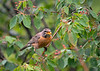 """<div class=""""jaDesc""""> <h4>Robin Tossing Serviceberry - June 27, 2018</h4> <p>When the Robin is ready to eat a berry, she tosses it up and  swallows it.</p> </div>"""