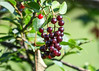 "<div class=""jaDesc""> <h4>Ripe Cherries - July 18, 2017</h4> <p>There must be several thousand ripe wild black cherries on our front yard tree.  The Blue Jays, Catbirds, Starling and Finches will be gorging themselves for the next week.</p> </div>"