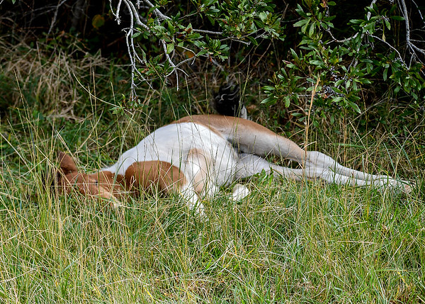 "<div class=""jaDesc""> <h4>Pinto Chincoteague Pony Foal Sleeping in Grass - October 23, 2017</h4> <p>As the mom moved along away from the foal to continue grazing, the foal continued to nap.</p> </div>"