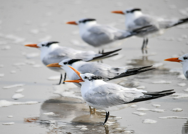 """<div class=""""jaDesc""""> <h4>Immature Royal Tern Yawning - November 8, 2018 </h4> <p>This group of immature Royal Terns was pointed into the wind relaxing. The closest one felt the urge to yawn.</p> </div>"""