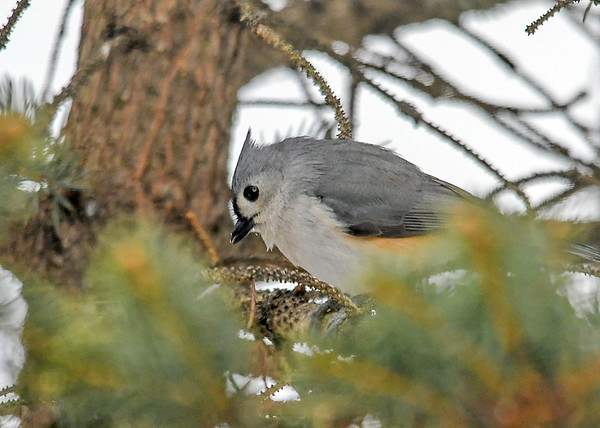 """<div class=""""jaDesc""""> <h4>Tufted Titmouse Looking for Seed - February 17, 2019 </h4> <p>I toss seed and shelled peanuts into this tree.  He was looking for one.</p></div>"""