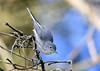 "<div class=""jaDesc""> <h4>Blue-gray Gnatcatcher Looking Down - September 19, 2019 </h4> <p>This pose reminds me of a nuthatch.</p> </div>"