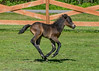"""<div class=""""jaDesc""""> <h4>Tiger Galloping Around the Paddock - June 3, 2017</h4> <p>Notice that all 4 hooves are off the ground.  He is so fast, I had a hard time keeping him in the frame.</p> </div>"""