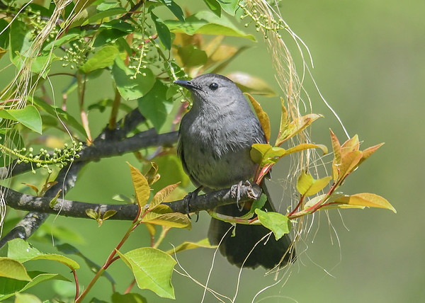 """<div class=""""jaDesc""""> <h4>Catbird in Cherry Tree - May 16, 2019</h4> <p>The bailing twine dangled in the tree is for the Orioles to use for their pouch nest.</p> </div>"""
