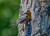"""<div class=""""jaDesc""""> <h4>Chickadee Feeding Juicy Caterpillar - June 3, 2018 </h4> <p>Looks like this """"chicklet"""" is going to get the entire caterpillar.</p> </div>"""