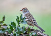 "<div class=""jaDesc""> <h4>Immature White-Crowned Sparrow - October 25, 2018</h4> <p>One of the immature White-crowned Sparrow was still hanging around.</p> </div>"