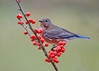 "<div class=""jaDesc""> <h4> Female Bluebird in Winterberry Bush - November 22, 2017</h4> <p>This female Bluebird landed in the top of one of our winterberry bushes, providing a very colorful view.</p> </div>"
