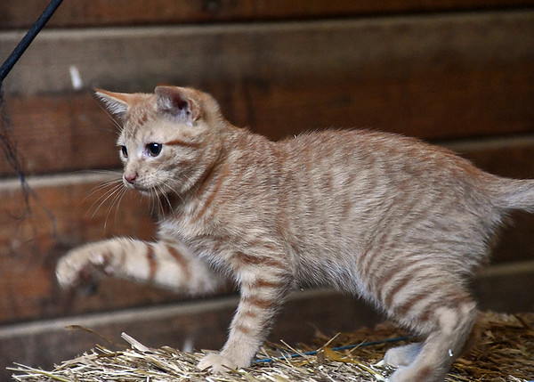 """<div class=""""jaDesc""""> <h4> Toffee Reaching for Tassel - September 9, 2017 </h4> <p>Toffee jumped up on a bale of straw to play with the tassel on a horse whip.</p> </div>"""