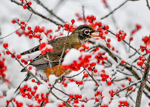"<div class=""jaDesc""> <h4>Robins Plucks Winterberry from Bush - November 8, 2019</h4> <p></p> </div>"