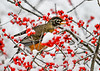 "<div class=""jaDesc""> <h4>Robins Plucks Winterberry from Bush - November 8, 2019</h4> <p></p> </div>"