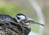"<div class=""jaDesc""> <h4>Chickadee Looking for Seeds - November 17, 2020</h4> <p></p> </div>"
