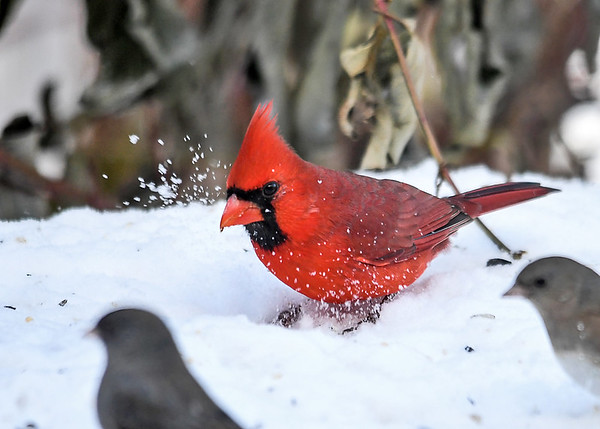 "<div class=""jaDesc""> <h4>Male Cardinal Scratching in Snow - December 14, 2017</h4> <p>The male Cardinal was shuffling his claws in the snow to uncover sunflower seeds.</p> </div>"