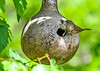 """<div class=""""jaDesc""""> <h4>House Wren Arrives with Ant - June 15, 2018</h4> <p>The Wren chicks inside this gourd are very vocal about being hungry.  One of them is going to get this large black ant.</p> </div>"""