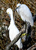 """<div class=""""jaDesc""""> <h4> Snowy Egret Grooming - November 8, 2018 </h4> <p>One of the pair spent a long time grooming while the other one watched intently.</p> </div>"""