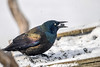 "<div class=""jaDesc""> <h4>Grackle Grabs Seed - March 3, 2017</h4> <p>This Grackle had grabbed a seed by the tip of his beak and then tossed it back onto his tongue.  The afternoon sun highlights the range of feather coloring.</p></div>"