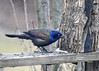 "<div class=""jaDesc""> <h4>Grackle Eating Breakfast - February 26, 2017</h4> <p>Lots of Grackles are moving North with the Red-winged Blackbirds.  There were at least 30 Grackles in the mixed flock.</p></div>"