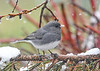 """<div class=""""jaDesc""""> <h4>Junco on Icy Spruce Branch - April 7, 2017</h4> <p>I am hoping this is our last spring snowstorm.  I think the birds are ready for the weather to warm up.</p> </div>"""