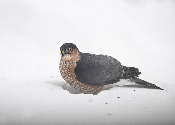"<div class=""jaDesc""> <h4>Sharp-shinned Hawk On Catch - March 15, 2017</h4> <p>A Sharp-shinned Hawk caught a Junco in our feeder area during the snow storm and then landed in the 2 foot deep snow.</p> </div>"