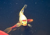 """<div class=""""jaDesc""""> <h4>Yellow Sarasa Comet Ready for Food - June 15, 2018</h4> <p>This is our brightest Sarasa Comet goldfish.  She came close to the surface hoping for some fish food to be tossed her way.</p> </div>"""