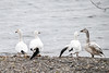 "<div class=""jaDesc""> <h4> Group of Snow Geese - March 30, 2017 </h4> <p>On the west side of Lake Cayuga I found this group of four Snow Geese by the waters edge.  The two adult geese in the middle both appeared to have damaged wings.  It looked like the other adult and immature bird stayed behind from a large flock to stick with the injured birds.</p> </div>"