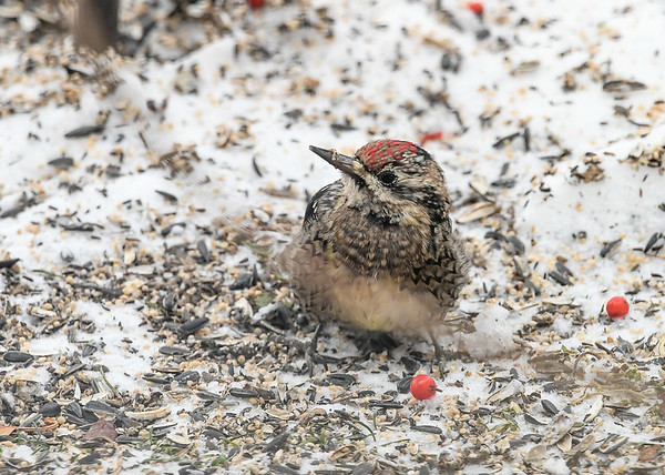 """<div class=""""jaDesc""""> <h4> Immature Female Yellow-bellied Sapsucker - Dec 20, 2020  </h4> <p> Eyeing another berry that has been knocked down to the ground. </p> </div>"""
